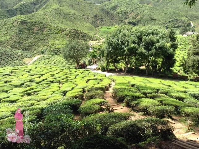 Pemandangan ladang teh di Cameron Highland sambil menikmati teh