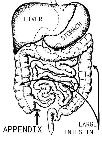 Apendik sebahagian daripada sistem usus kita