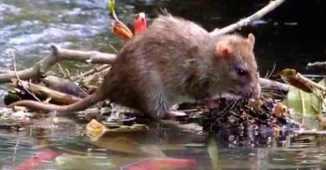 cara rawat kencing tikus atau laptospirosis