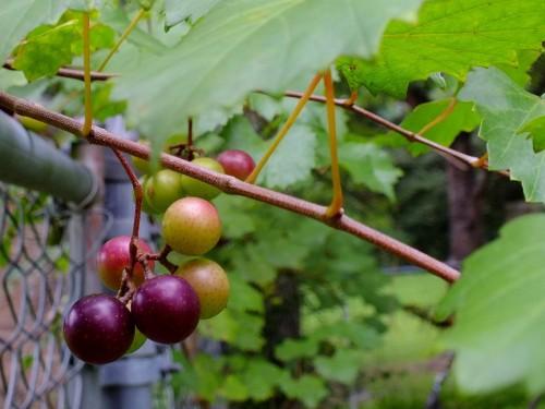 anggur elak kanser
